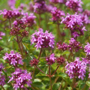 Bienenfreundliche Sträucher: Die 15 schönsten Sträucher für Bienen - Plantura