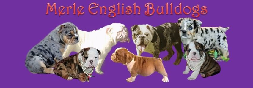 Merle Bulldog Banner English Bulldog Bulldog Dogs