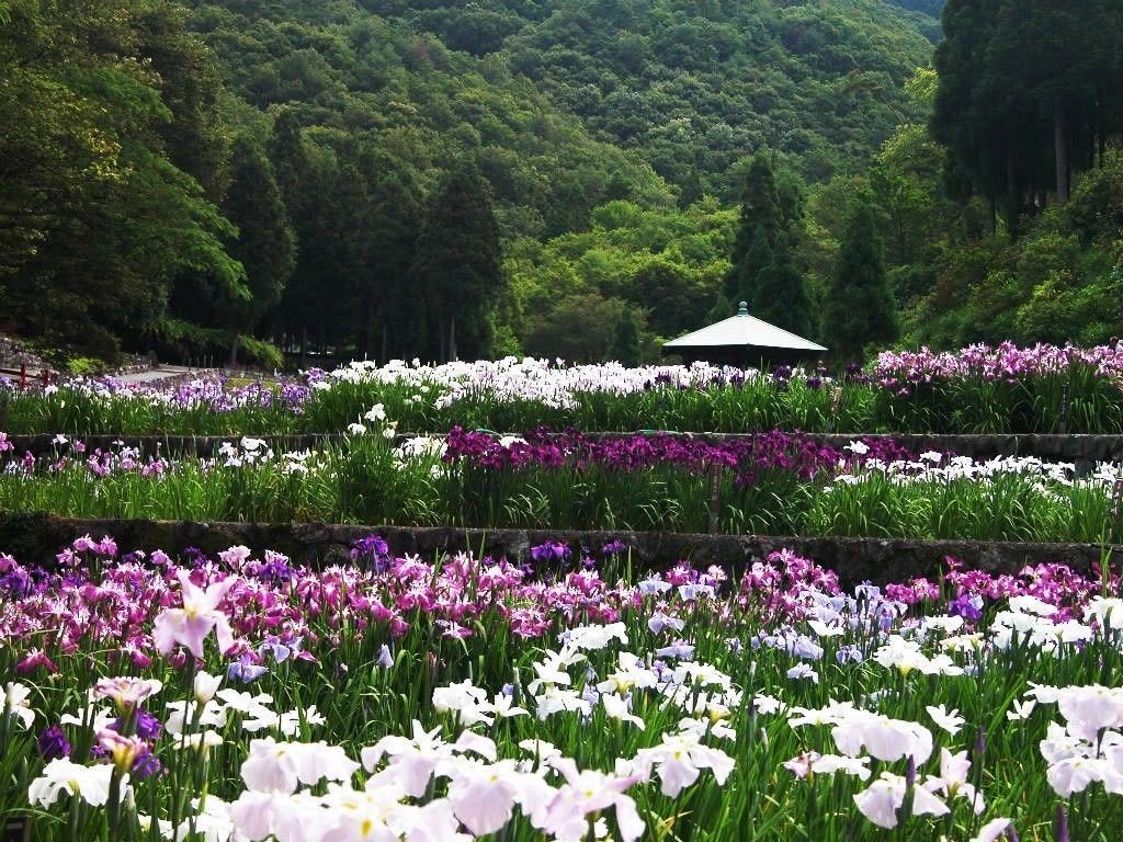 Sakura garden, Japan