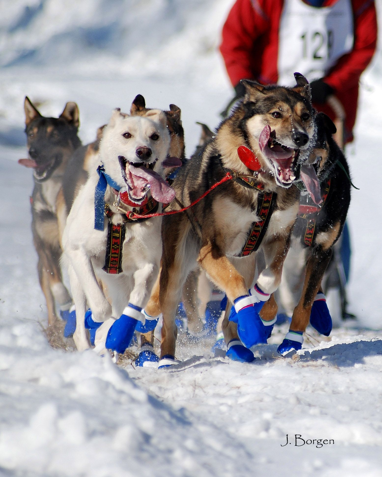Sled Dogs Look At The Joy They Take In Their Job Many Dog