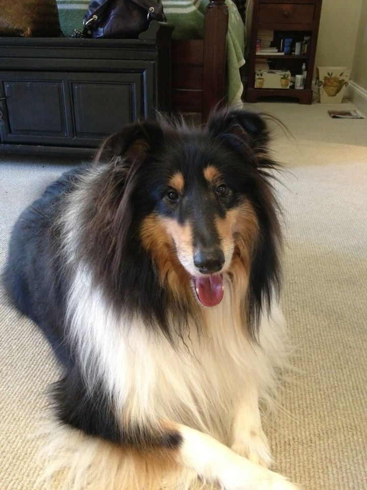 Zac Rough Collie With Images Rough Collie Collie Dog