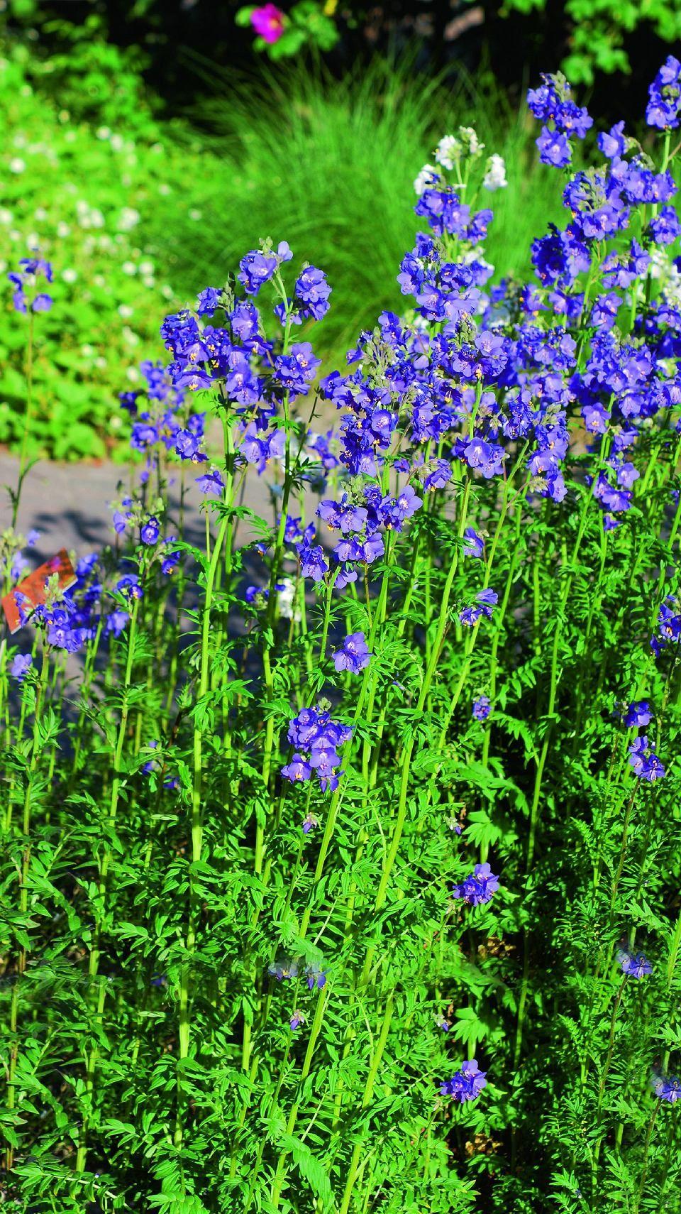 Nasiona Kwiatow Pnos Ozarow Flowers Plants Garden