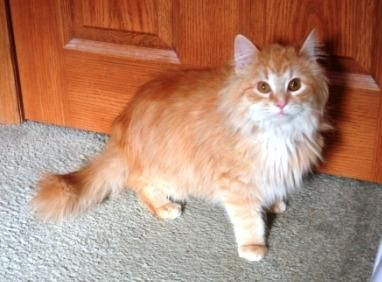 Meet Fuzzy Wuz A Petfinder Adoptable Domestic Long Hair Orange And White Cat Petersburg In Fuzzy Wuz Is A Dramatica Orange And White Cat White Cat Cats