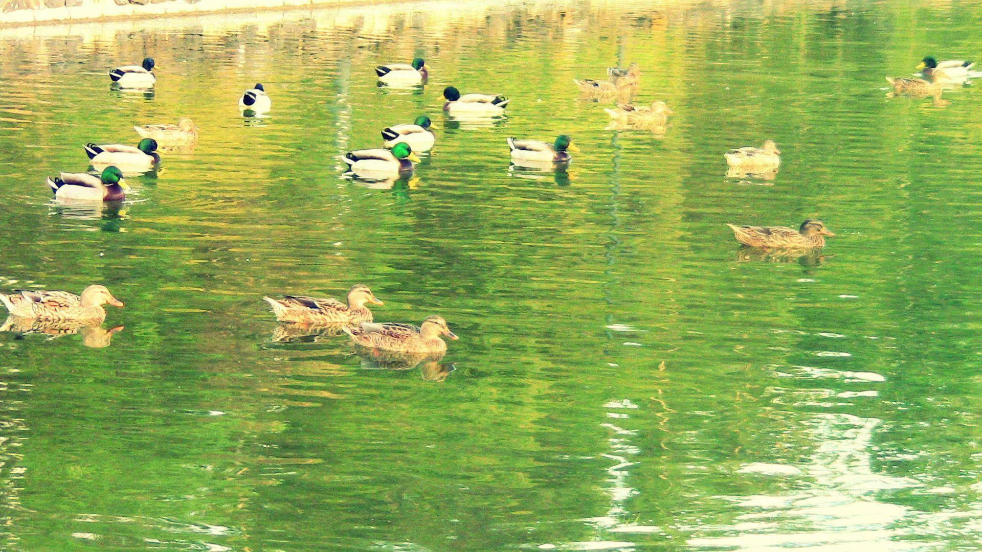 Reunião de patos