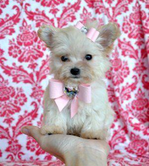 Teacup Maltchi Princess14 Oz At 8 Weekssold Cute Animals