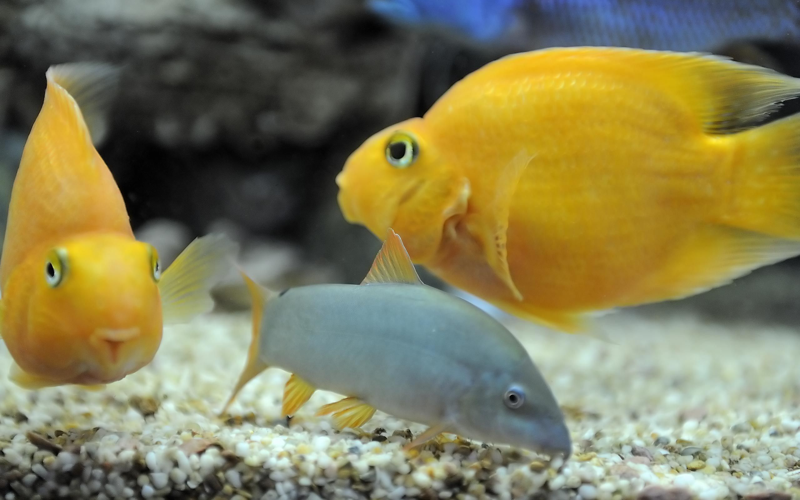 Freshwater fish for aquariums blood parrot cichlid for Freshwater exotic fish