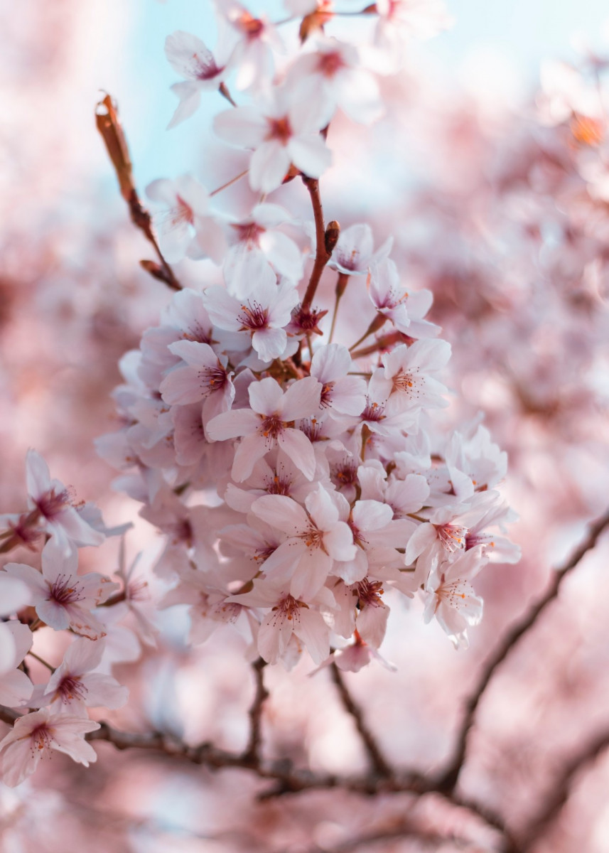 Pink White Cherry Blossoms Poster By Bear Amber Art Displate White Cherry Blossom Cherry Blossom Art Pink Blossom Tree