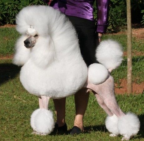 Poodle The Traditional Haircut Of The Poodle Isn T All