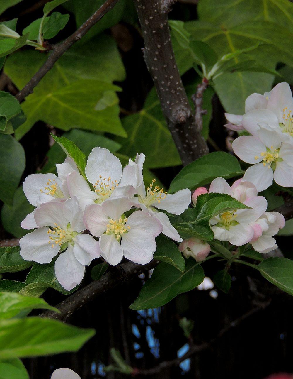 Flores de manzano.http://www.elhogarnatural.com/Frutales%20y%20Frutos.htm