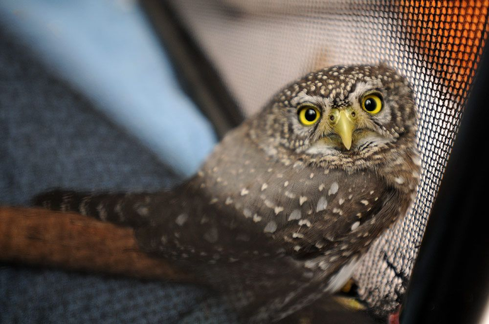 A baby pygmy owl made her way to Wild Friends last year.