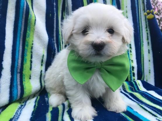 Oliver Shih Poo Puppy For Sale In Nottingham Pa Lancaster Puppies Shih Poo Puppies Puppies For Sale Shih Poo