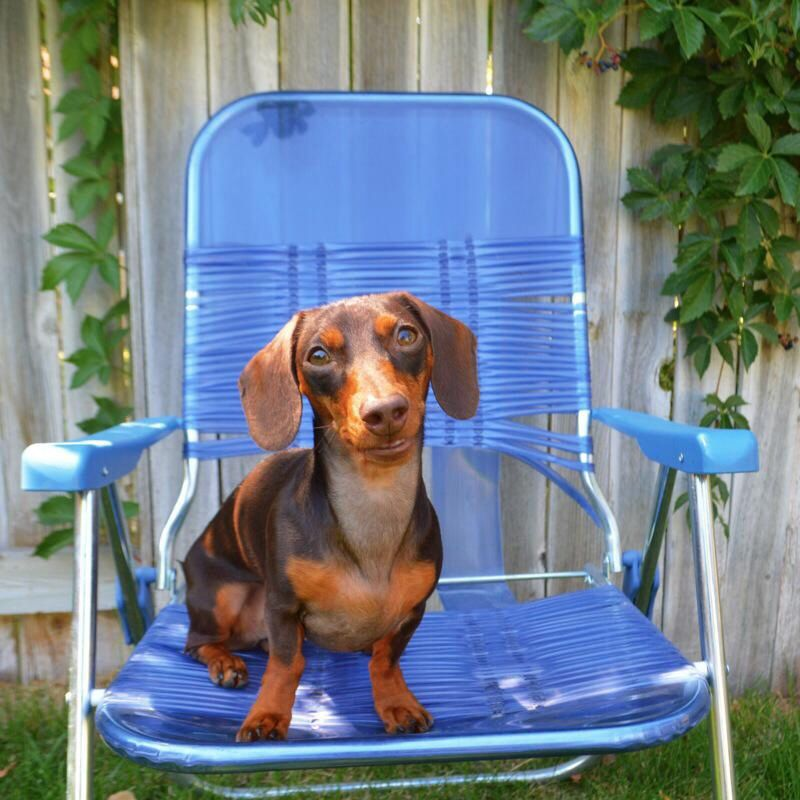 #justchilin #doxie