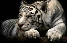 Tiger Wallpaper 3d Wallpaper Iphone for HD Wallpaper Desktop