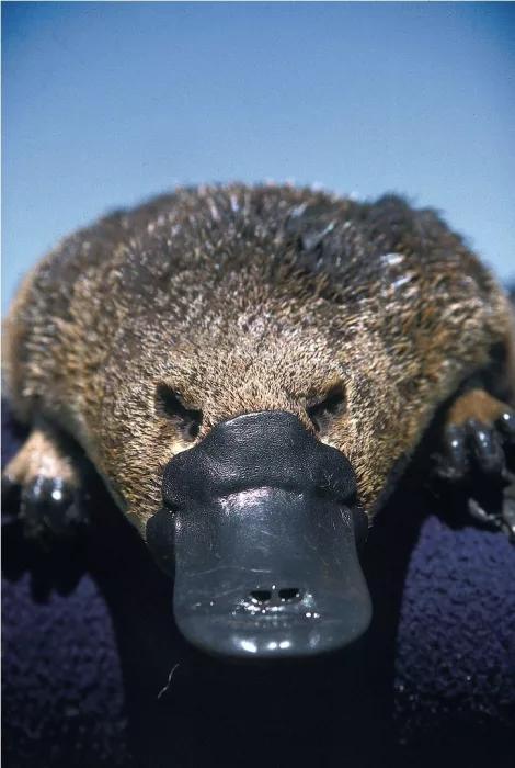 Животное утконос: описание вида, интересные факты