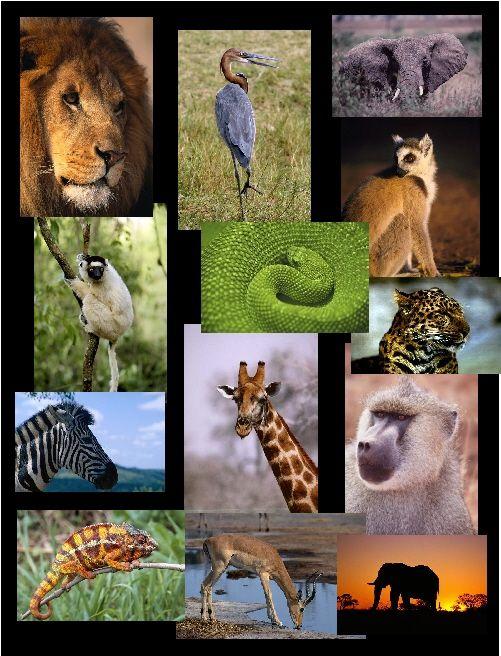 Animal Collage : animal, collage, African, Animal, Collage, Room15ravers, Animals,, Wildlife