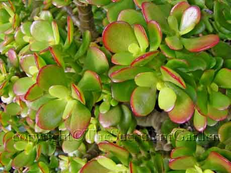crassula argentea 39 hobbit 39 green thumb succulents succulents garden plants. Black Bedroom Furniture Sets. Home Design Ideas