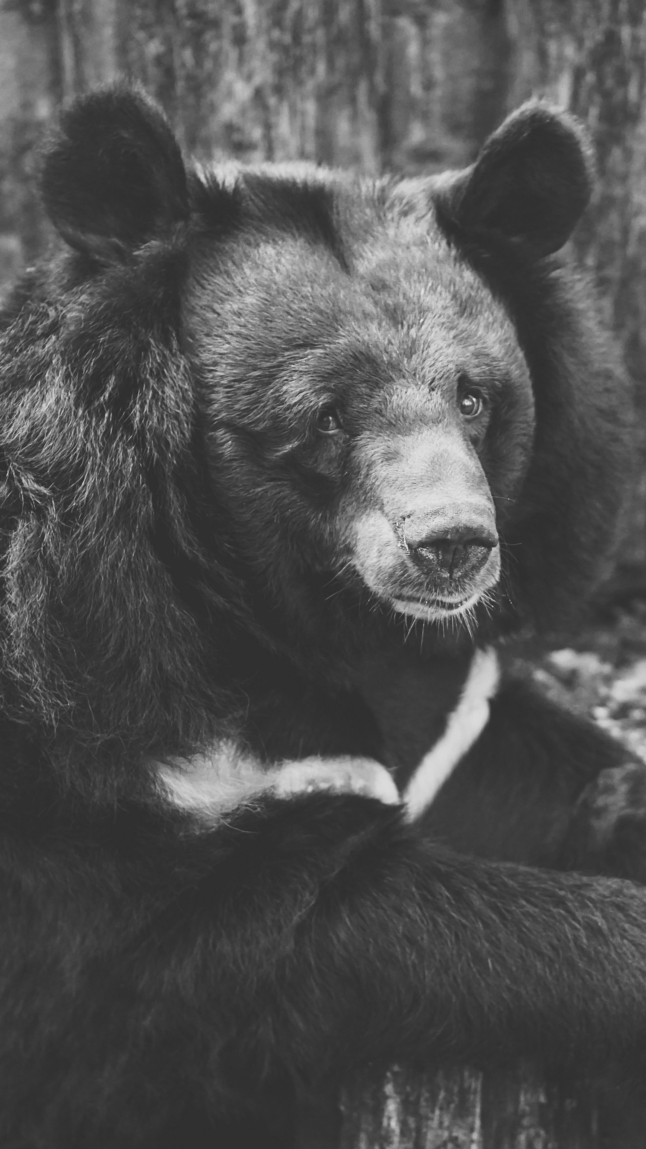 Animals Bear Black Sadness Wallpapers Hd 4k Background For Android