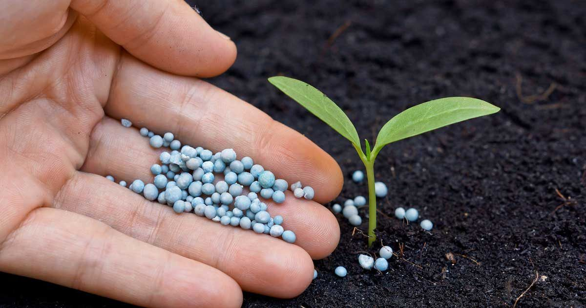 How Much Fertilizer Per Plant & How to Apply It Lawn