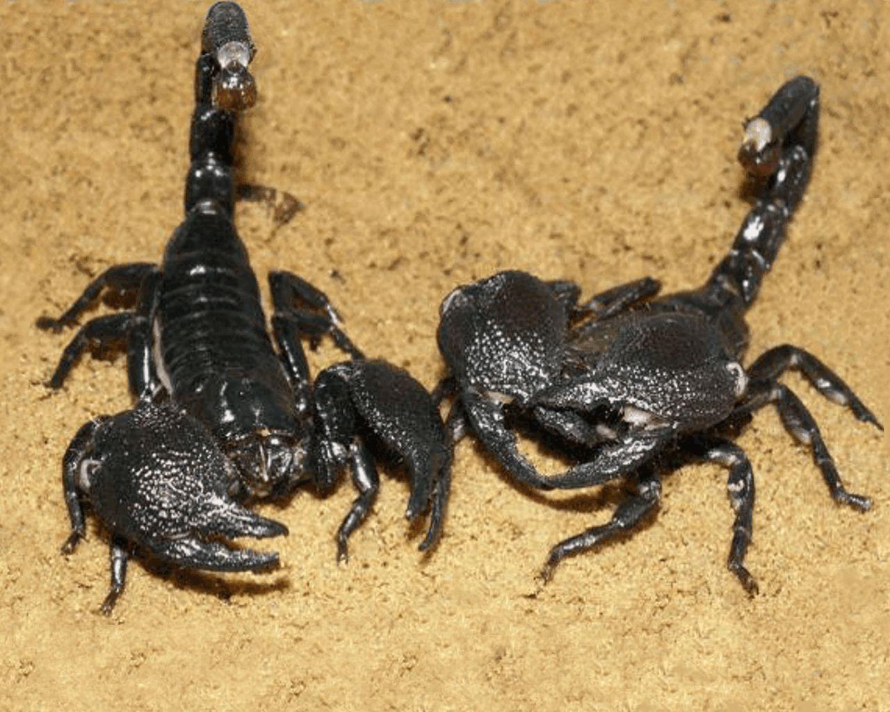 Download free Pair of Biggest Black Scorpion desktop wallpaper hd ...