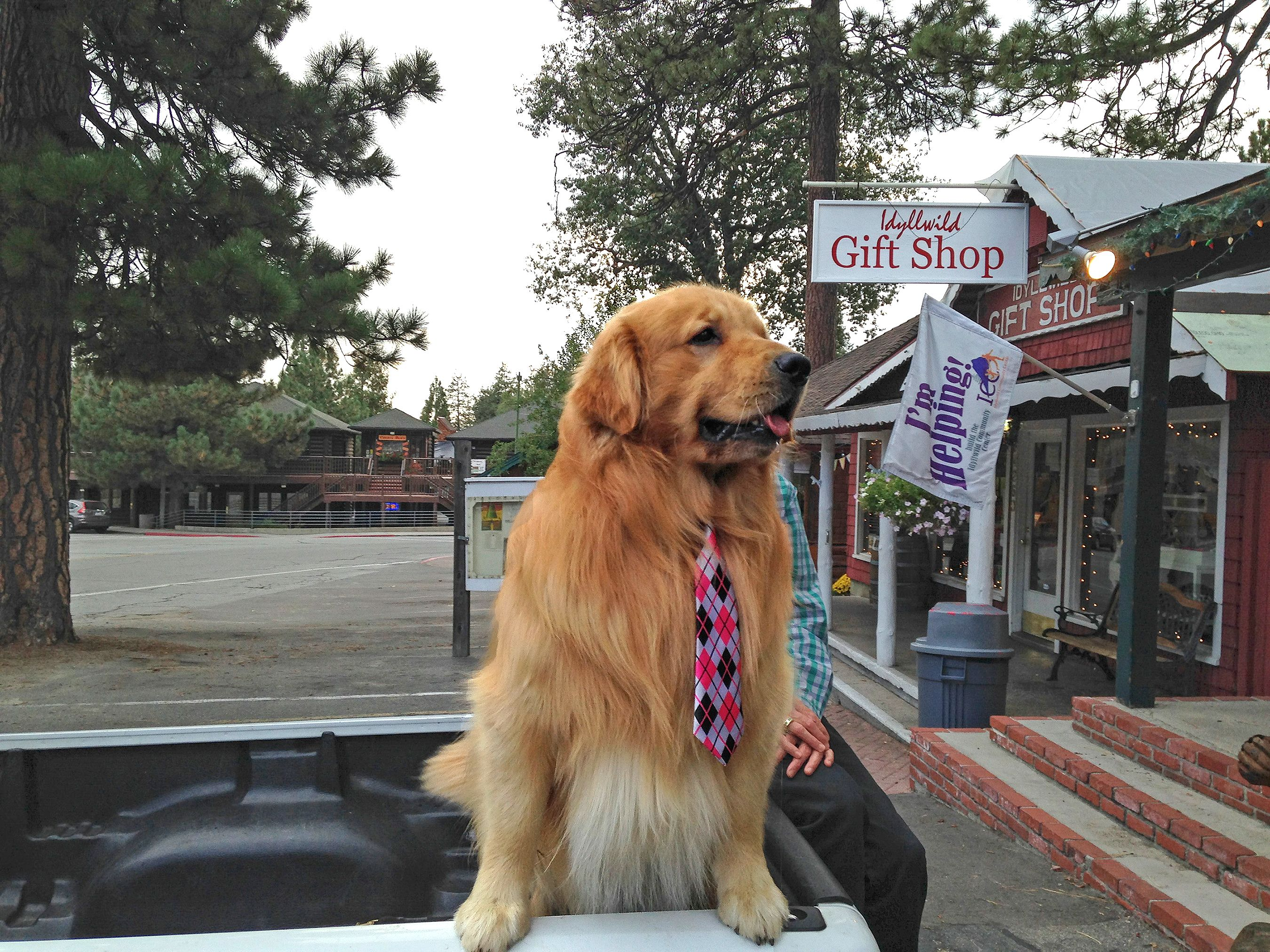 This Adorable Golden Retriever Has Served As The Mayor Of A