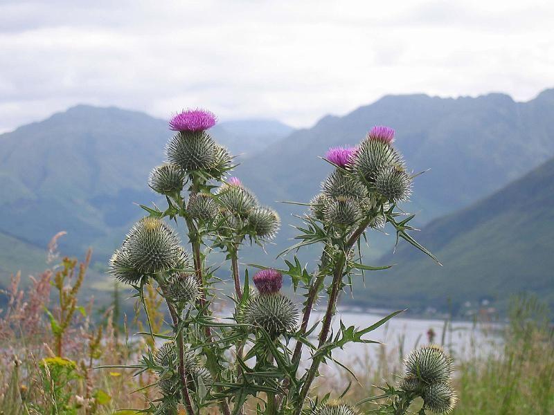 image scottish thistle Bing Images Scottish thistle