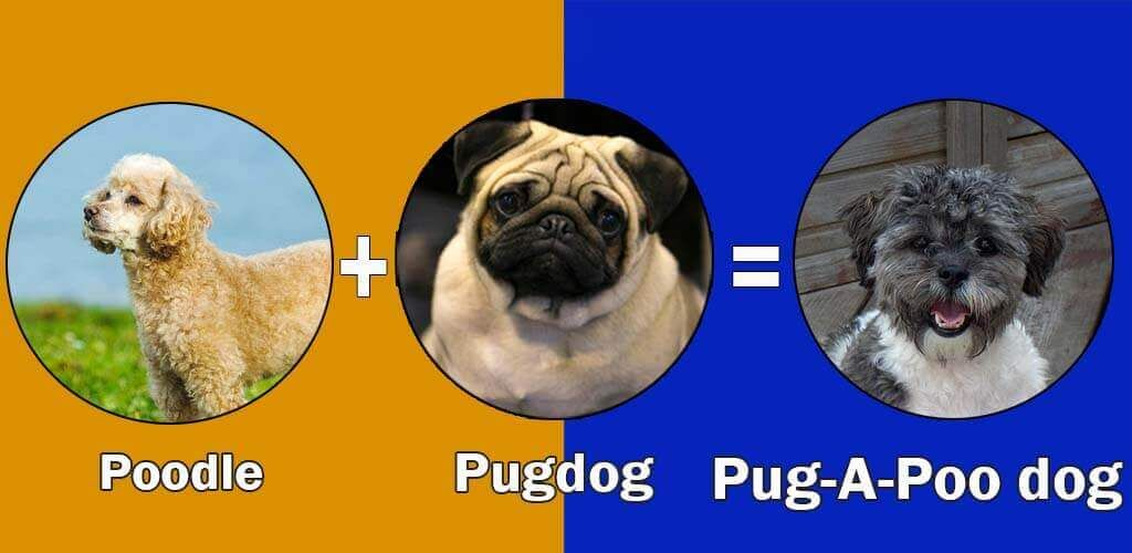 Pug Dog By Dogmal