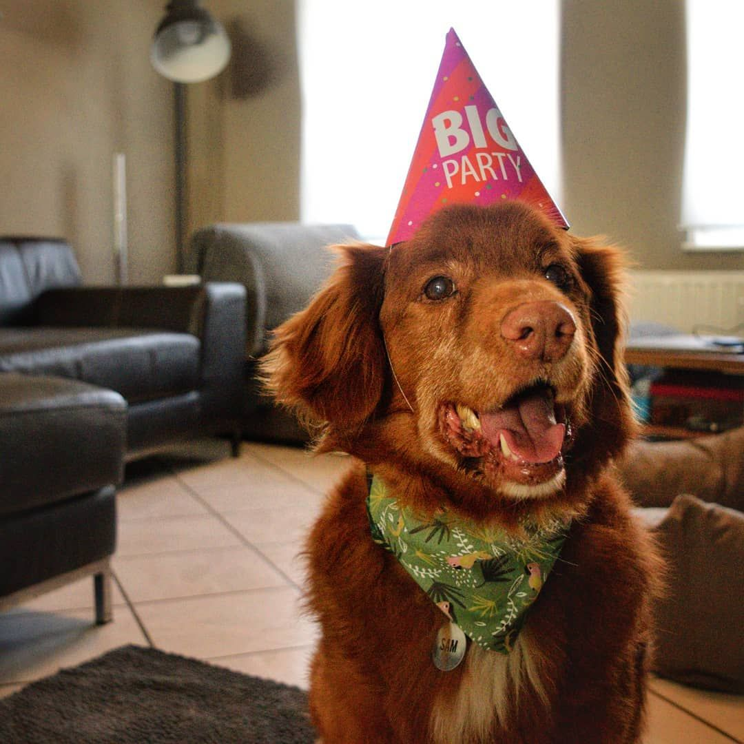 B I R T H D A Y B O Y S A M Sam Is Turning 11 Years Old Today Its Such A Pleasure To Have Him B I R T H D A Y B O Y S Senior Dog Dogs