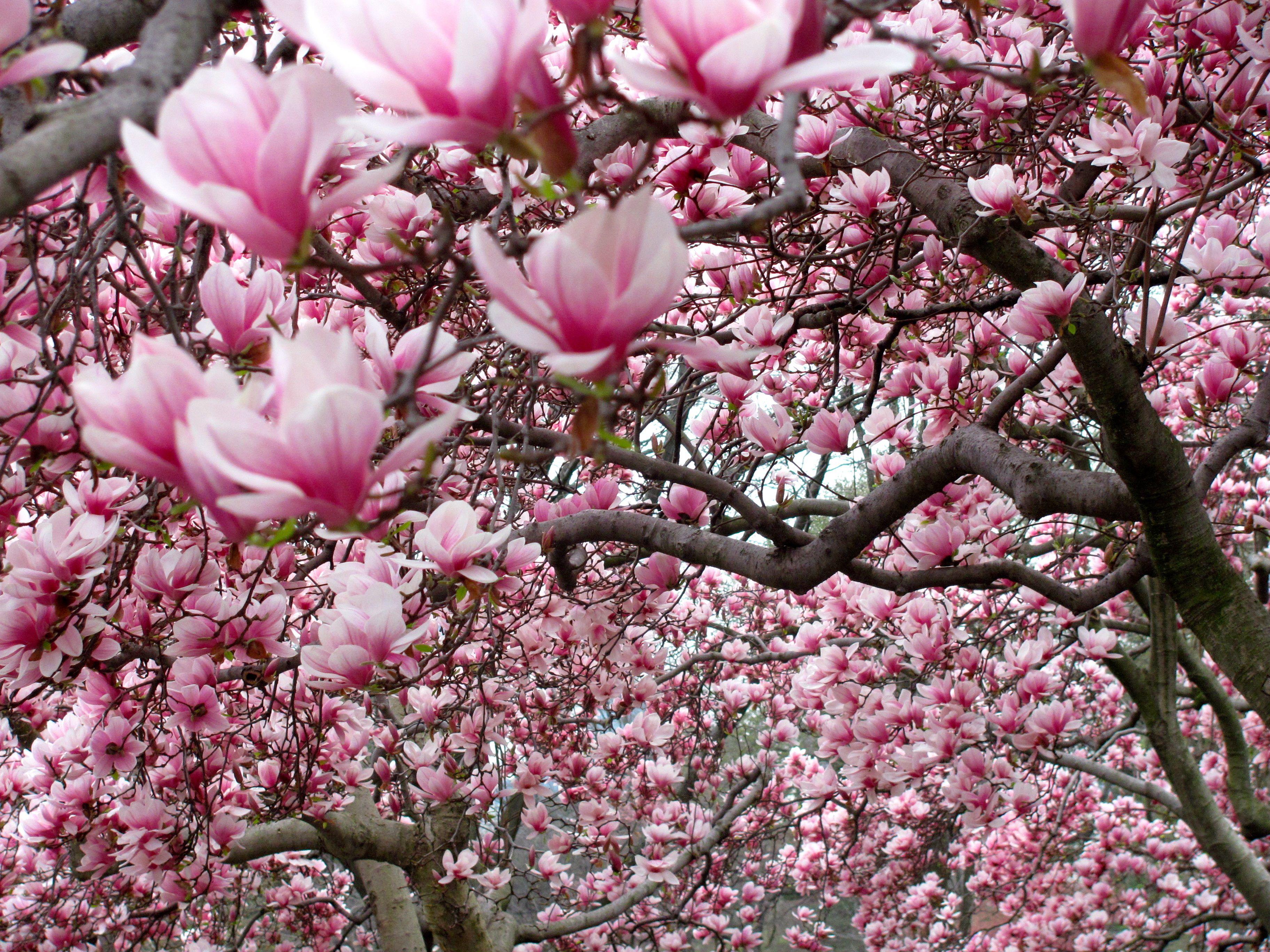 A Grove Or Shall I Say An Avenue Full Of Magnolia Trees On Full