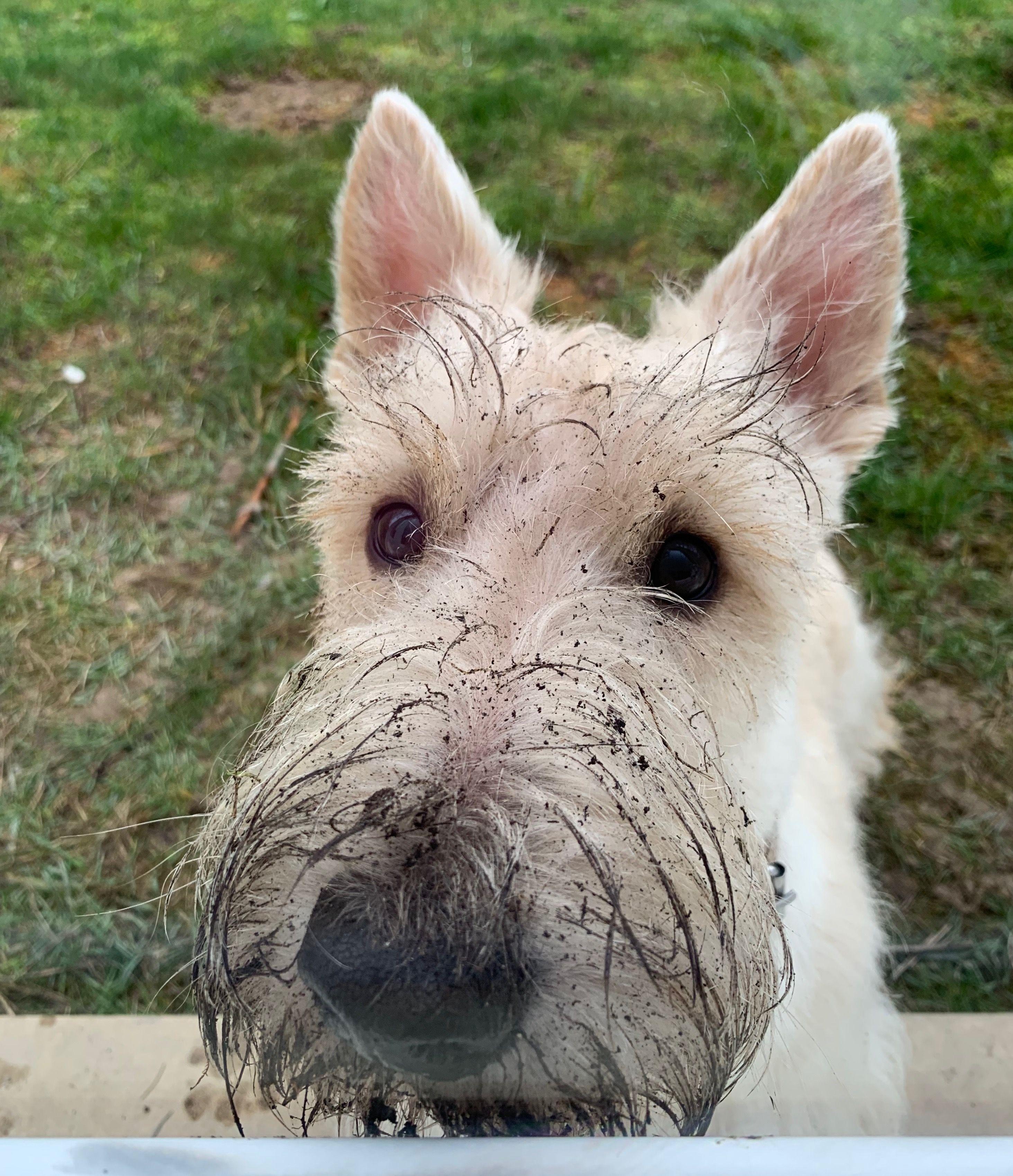 Scottie Dog, Scottish Terrier, Terrier