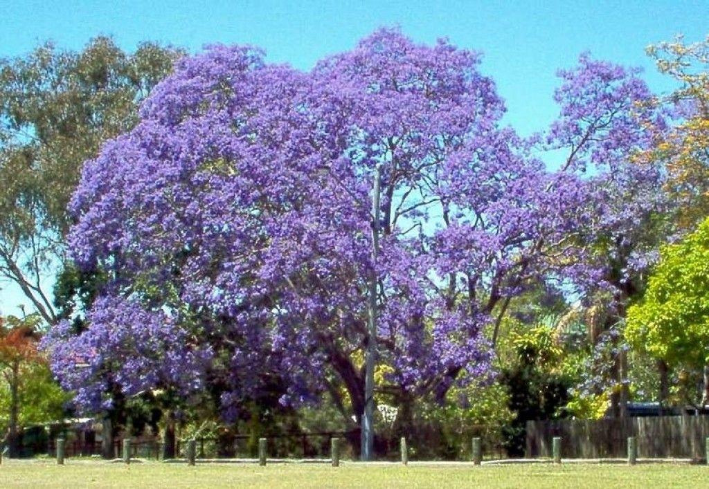 Jacarandas In Johannesburg South Africa Flowering Trees Jacaranda Tree Purple Flowering Tree