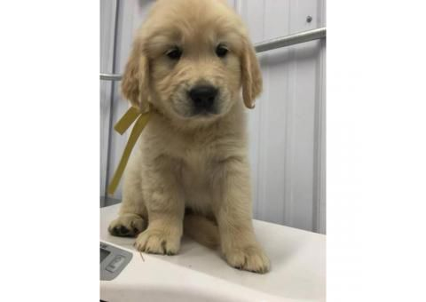 A Litter Of Gorgeous Pure Bred Golden Retriever Puppies In Phoenix