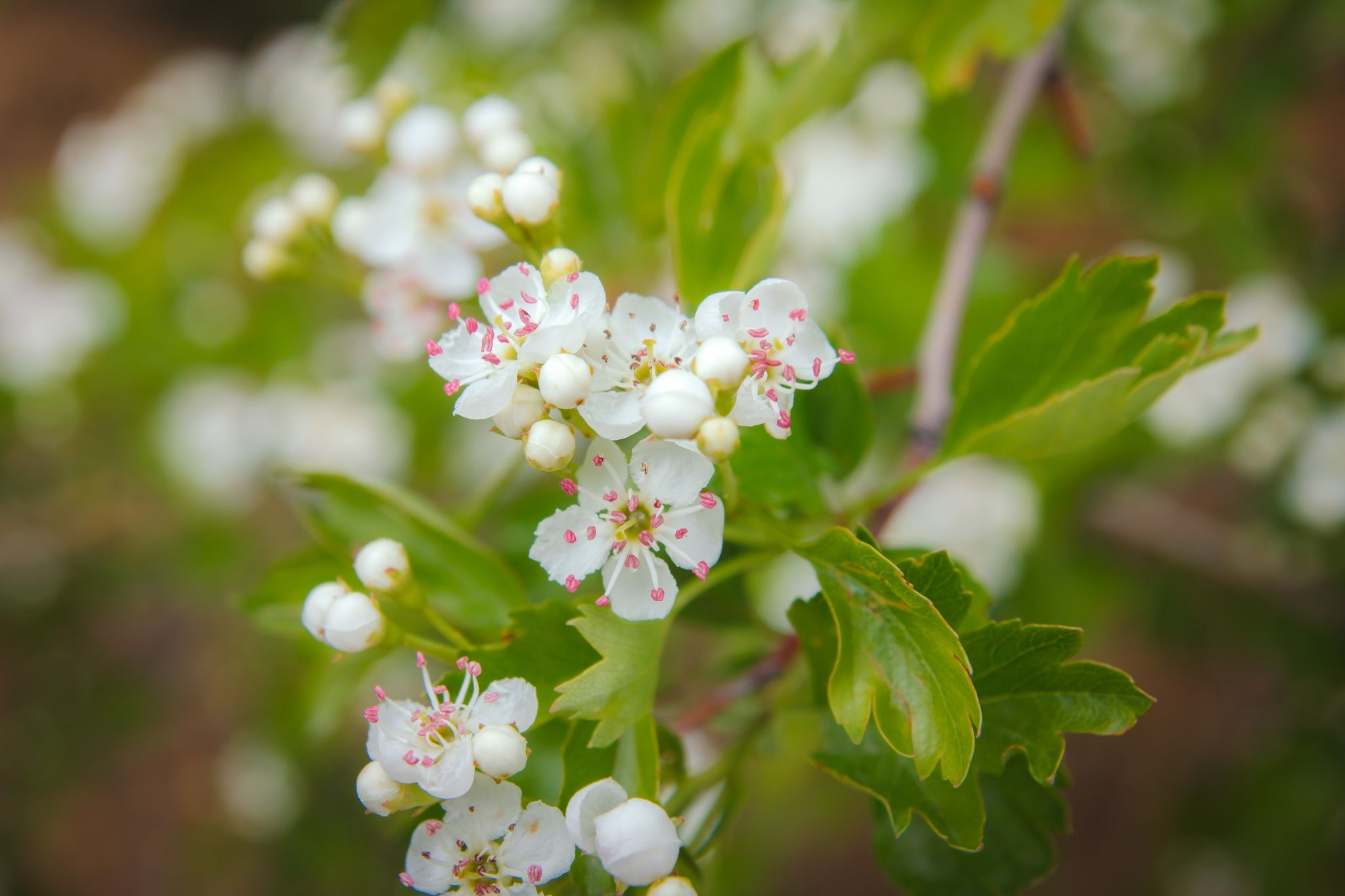crataegus blossom-2 by Ramazan KAMARI on 500px