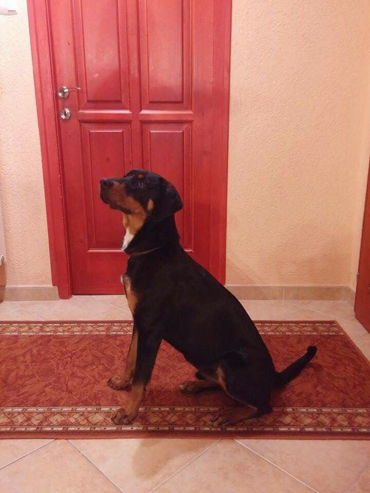 Pin By Noemi Voros On My Transylvanian Hound Decor Animals Dogs