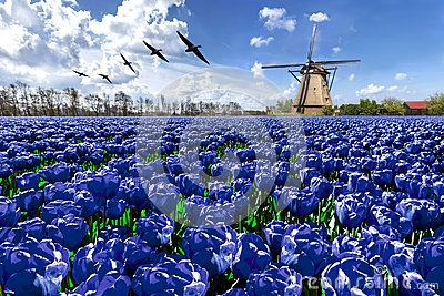 Geese flying over endless blue tulip farm
