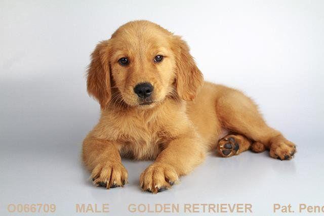 Golden Retriever At San Diego Puppy Puppies Puppies Dogs Animals
