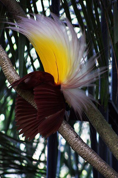 The Bali Bird of Paradise. There are many kinds of bird-of-paradise, all of which have truly beautiful displays, and most are found on the island of New Guinea. Forty types are known to biologists, all highly memorable because the plumage of the male birds is so wonderfully colourful.