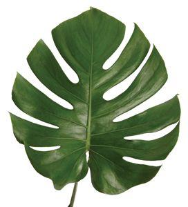 monestera leaves