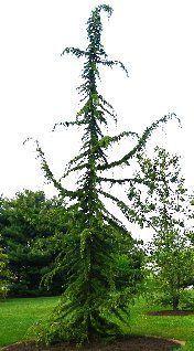 Kigi Nursery Cedrus Libani Pendula Weeping Cedar Of Lebanon 25 00 Http