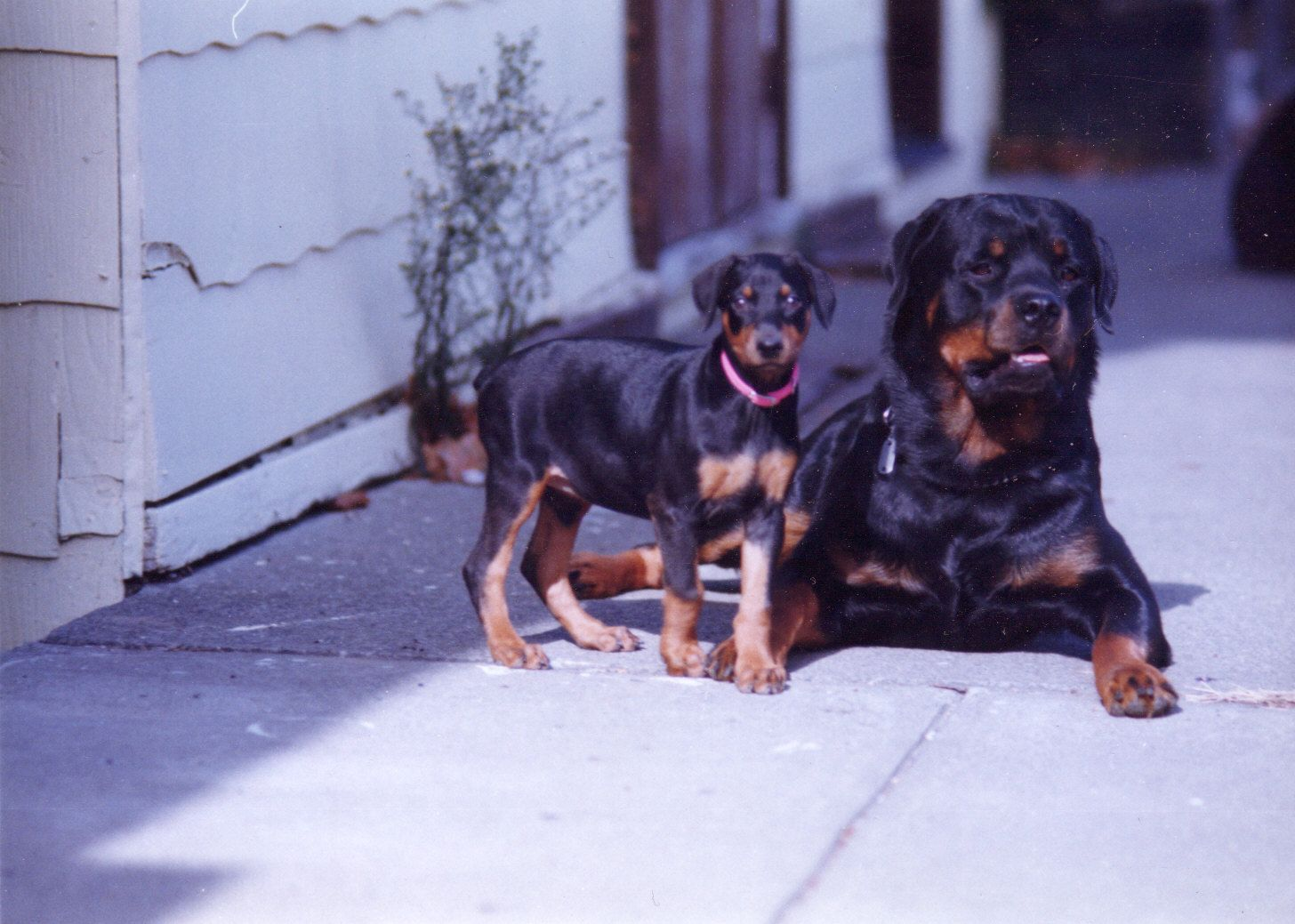 Rottweilers Start Off So Small And Lovable And End Up So Damned