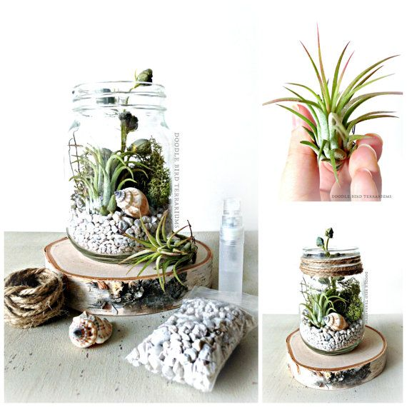 tillandsia terrarium kit mason jar terrarium green garden pinterest plantes plantes en. Black Bedroom Furniture Sets. Home Design Ideas
