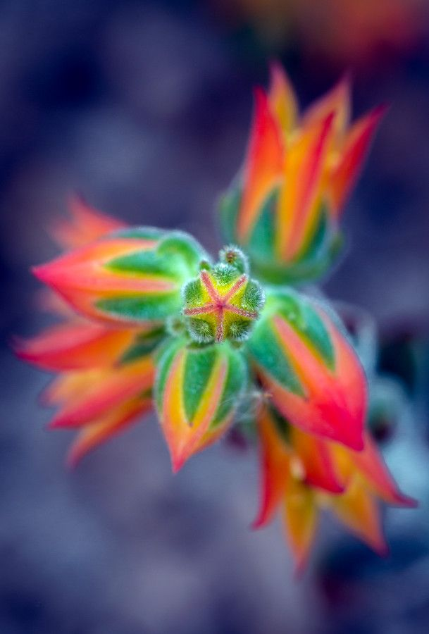 Echeveria feeling blue by Alan Shapiro on 500px