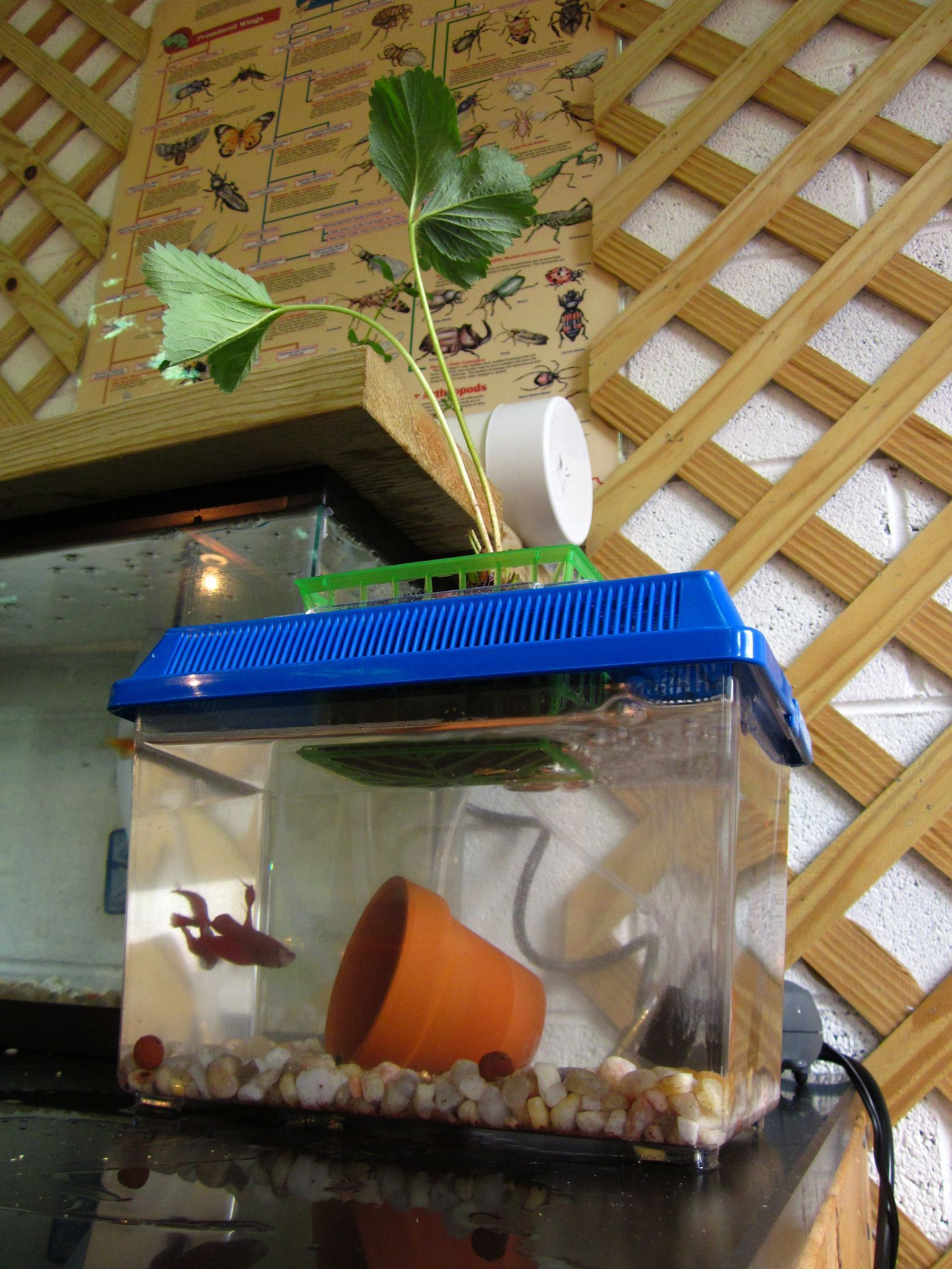 This small and simple mini aquaponic system is the perfect size for