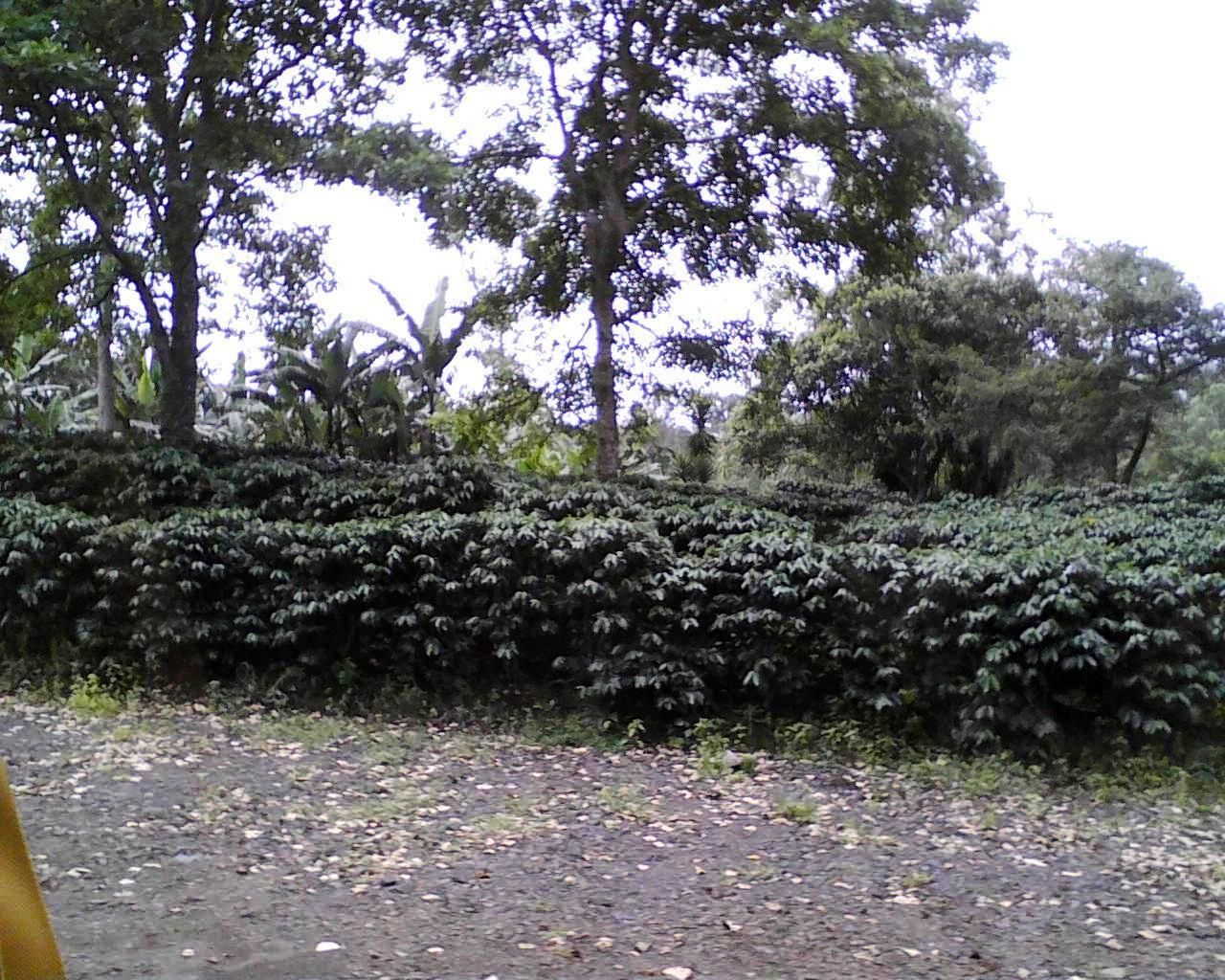 Glynna took a picture of the coffee plants at the plantation in Costa Rica.