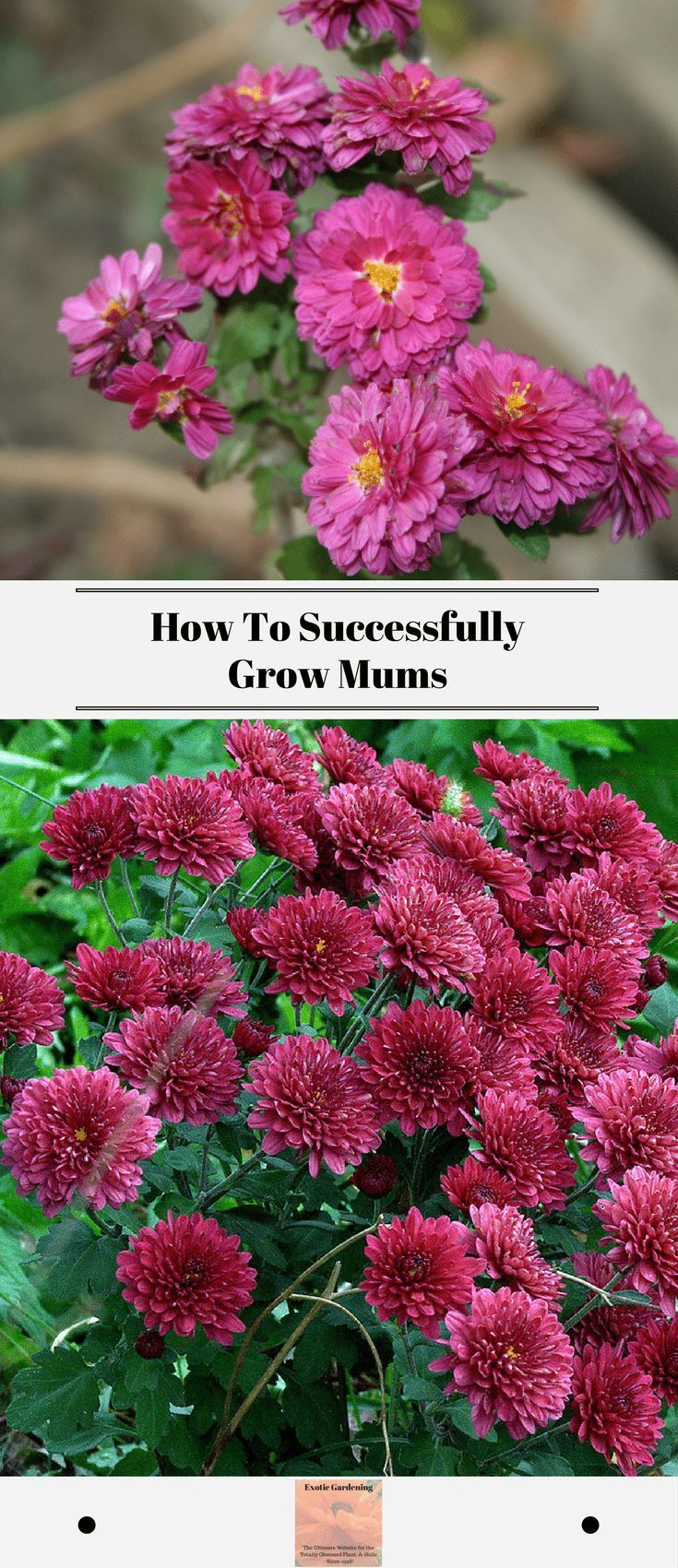Chrysanthemums Commonly Referred To As Mums Are A Beautiful Fall