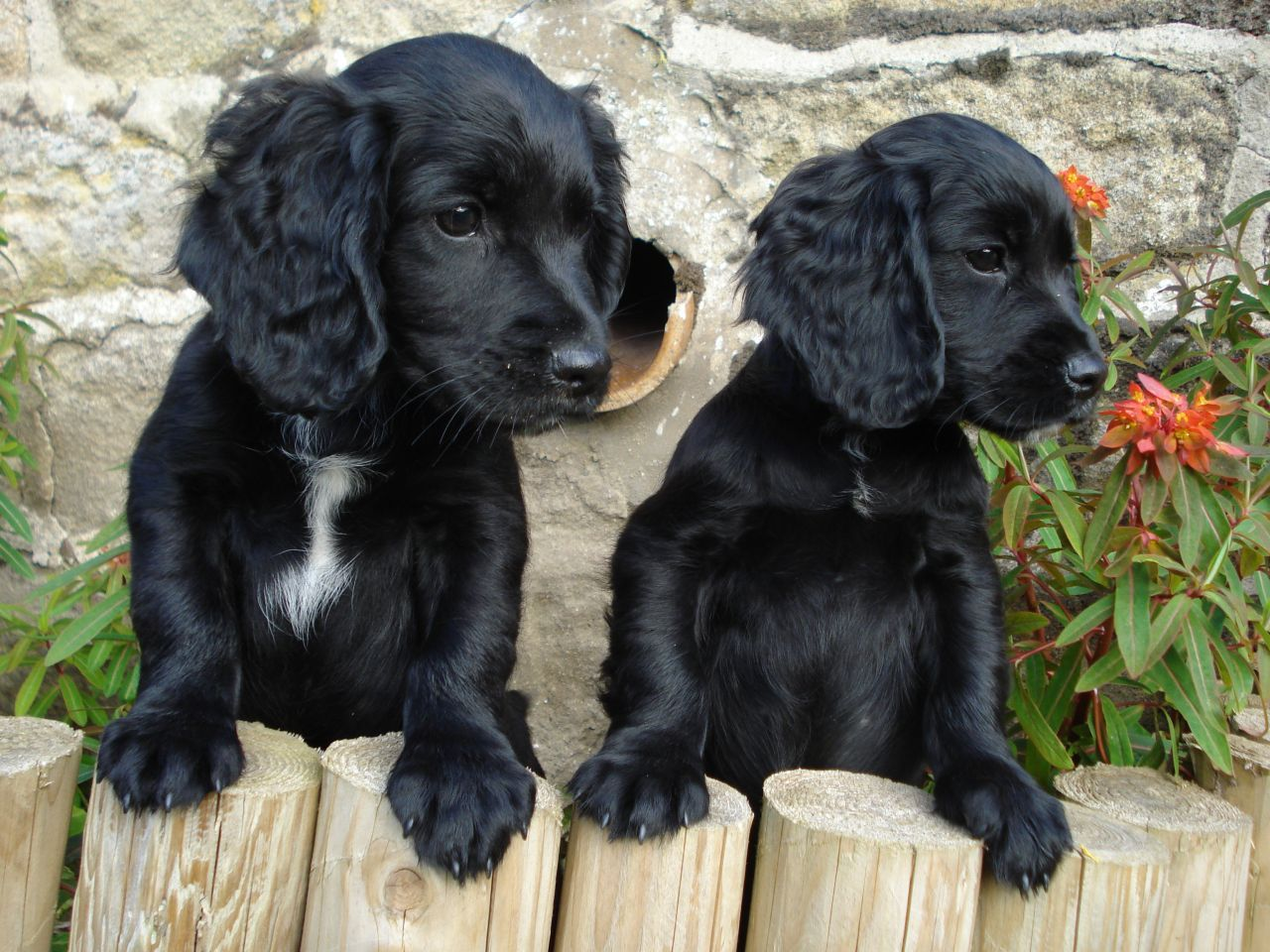 Working Cocker Pups For Sale Harrogate North Yorkshire Pets4homes Black Cocker Spaniel Puppies Working Cocker Dogs