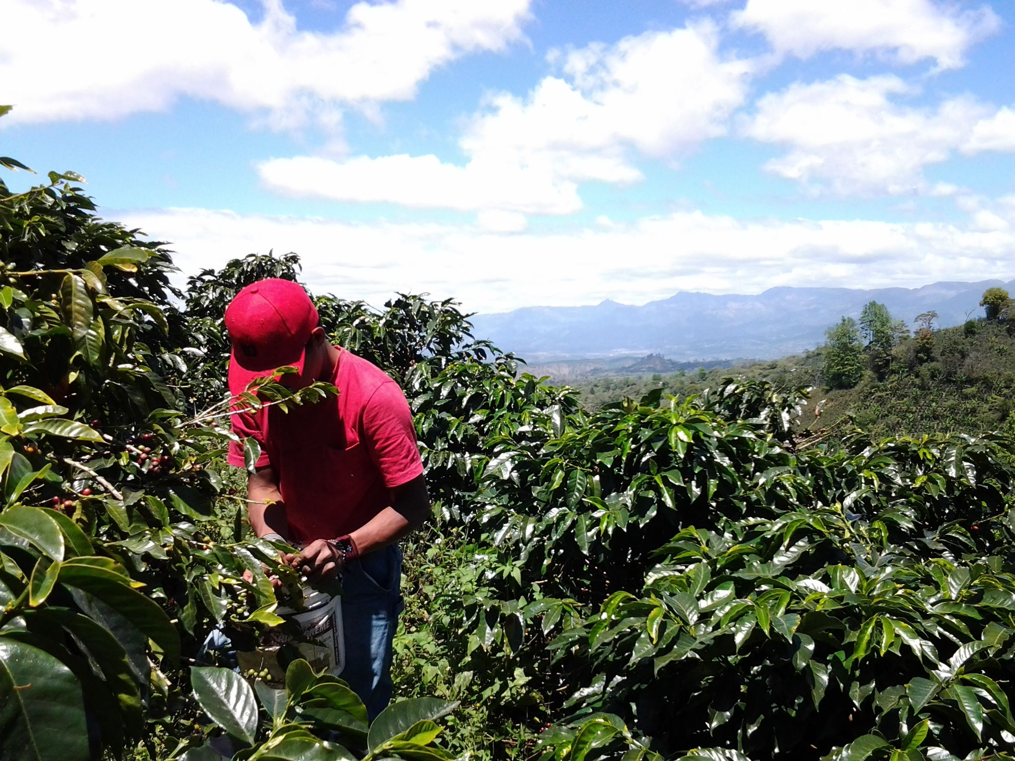 Picking coffee cherries at Finca Cerro Bueno in La Paz, Honduras.   www.hondurascoffeefamily.com