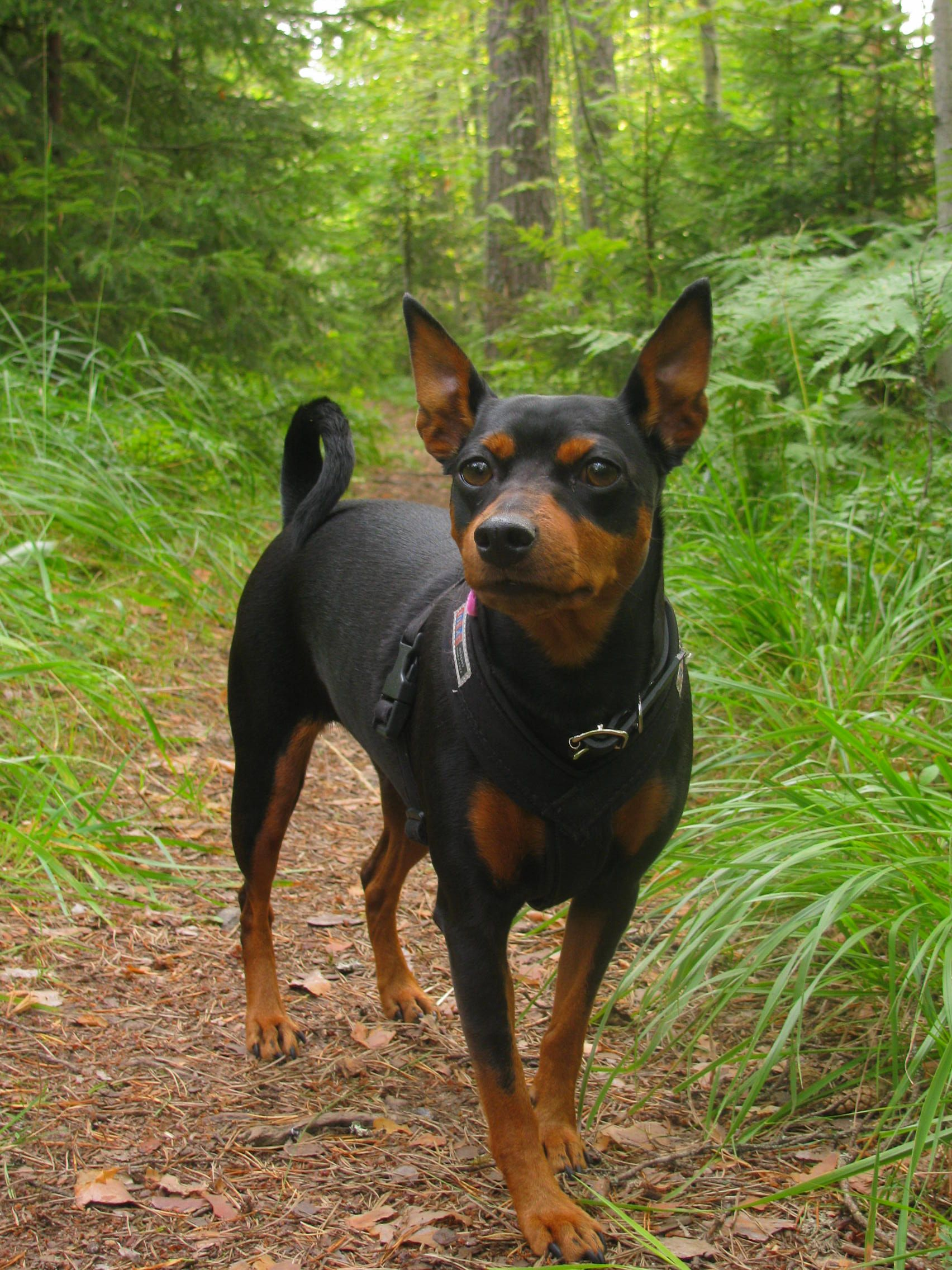 Hiking In The Woods Doggy Miniature Pinscher Min Pin