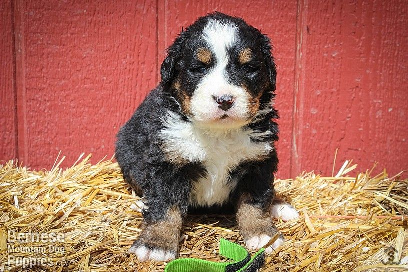 Bernese Mountain Dog Puppies For Sale Price References