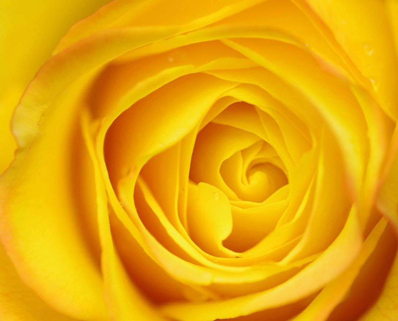 macro yellow roseyellow rosesthe color of sunshine patrick - Pictures Of The Color Yellow