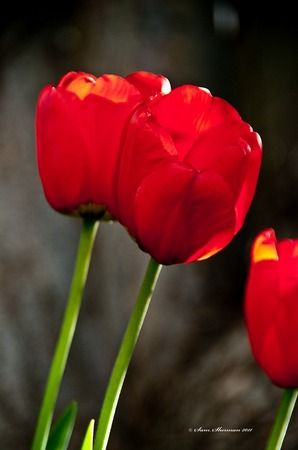Red Tulips by Sam Sherman in WyomingSpring on Photography By Sherman's Store